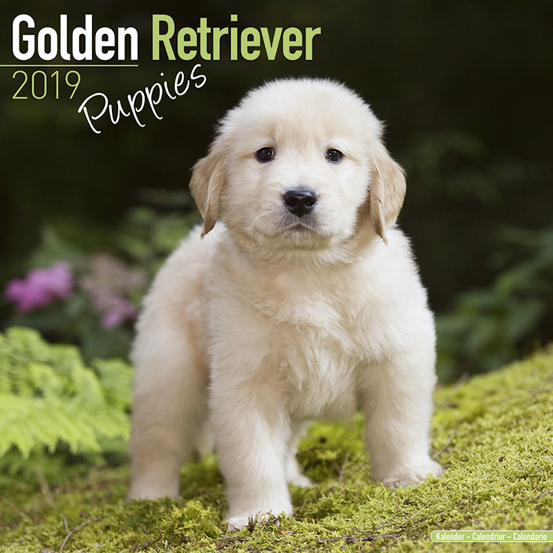 Hundekalender Golden Retriever Welpen Hundekalender 2019 By