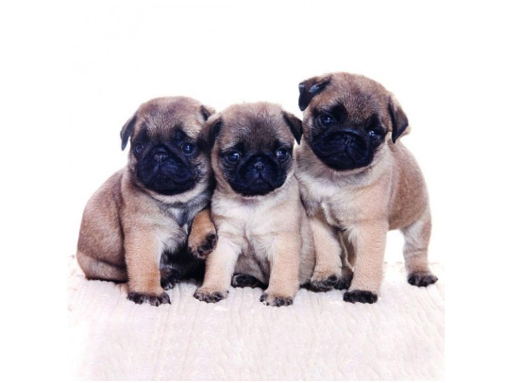 papier servietten hunde mops welpen 20 stck 33 x 33 cm. Black Bedroom Furniture Sets. Home Design Ideas