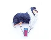 RestpostenHundeausstellungs-Startnummern-Clip: Collie tricolor