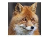 WeihnachtenPapier-Servietten: Fuchs  20 Stck 33 x 33 cm
