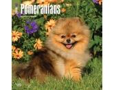 NeuheitenBrowntrout Hunde Wandkalender 2018: Pomeranians - Pomeraner