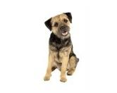 NeuheitenHunderassen-Auto-Aufkleber: Border Terrier 2