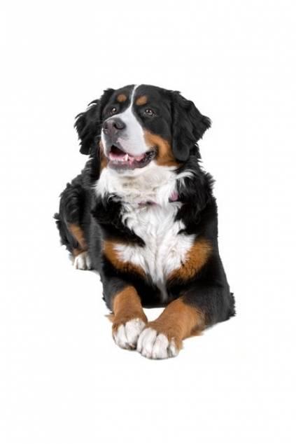 hunderassen auto aufkleber berner sennenhund 1 tierisch. Black Bedroom Furniture Sets. Home Design Ideas